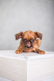 Little cute Brussels Griffon on a white box Royalty Free Stock Image