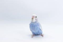 Little Cute Budgerigar, Budgie, Bird Stock Image