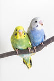 Little Cute Budgerigar, Budgie, Bird. On white background Stock Photography