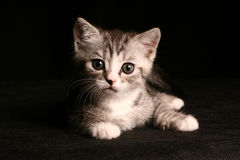 Little cute cat. Over black stock photography