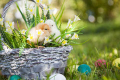 Little cute chicks Royalty Free Stock Image