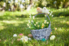 Little cute chicks Royalty Free Stock Photo