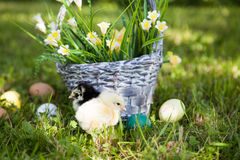 Little cute chicks Royalty Free Stock Photography