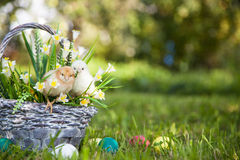 Little cute chicks Stock Image
