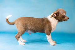 Little Cute Chihuahua Dog breed. A dog stand. Side View. Blue background royalty free stock photo