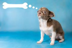 Little Cute Chihuahua Dog breed. Thinks about food concept. Blue background stock images