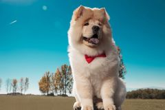 Little cute chow chow puppy dog is sitting, royalty free stock images