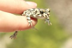 Little cute cold frog with spotty skin sits stock photography