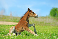 Little cute colt walk Royalty Free Stock Photos