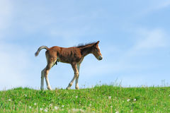 Little cute colt walk. On spring pasture stock photo