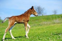 Little cute colt walk. On spring pasture stock photos