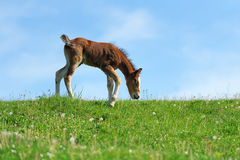 Little cute colt walk. On spring pasture stock images