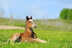 Little cute colt walk. On spring pasture royalty free stock photography