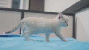 Little cute cute white kitten sitting on the bed in the bedroom. little kitty pet with blue sad eyes. kitten lifestyle stock footage