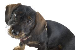 Little cute dachshund Royalty Free Stock Photos