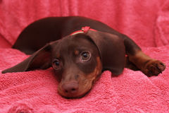 Little cute dog chocolate Dachshund lays on pink background.  Stock Photo