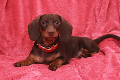 Little cute dog chocolate Dachshund lays on pink background.  Royalty Free Stock Photography