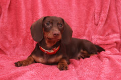 Little cute dog chocolate Dachshund lays on pink background.  Royalty Free Stock Images