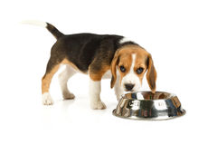 Little cute dog eating Royalty Free Stock Images
