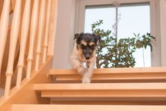 Little cute dog is running down slippery staircase. royalty free stock image