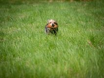 Little cute dog running through green meadow and hold toy in his mouth royalty free stock photo
