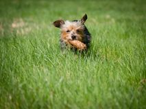 Little cute dog runs through meadow and holds toy in his mouth, dog wears a toy royalty free stock photo