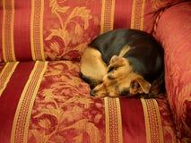 Little cute dog sleeping sofa Royalty Free Stock Photography