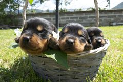 Rottweiler puppies inside the basket royalty free stock photos