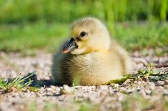 Little cute domestic goose chick in green grass.  Royalty Free Stock Photo