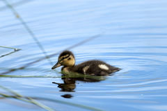 A little cute duck on the water Stock Image