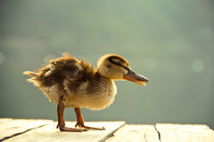Little cute duckling Stock Image