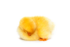 Little cute duckling sleeping Stock Images