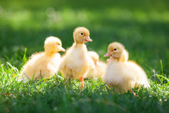 Little cute ducklings on green grass. Royalty Free Stock Photography
