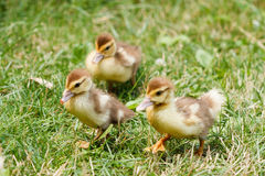 Little cute ducklings on green grass, outdoors. Few Little cute ducklings on green grass, outdoors Royalty Free Stock Photography