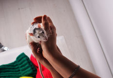 Little cute fluffy mouse in their hands Stock Photos