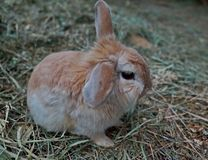 Little cute fluffy Pygmy rabbit. Easter Bunny-Easter symbol in the culture of some Western Europe, Canada and the United States. Soft focus, shallow depth of stock photo