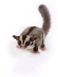 Little cute flying squirrel. Stock Photo