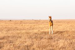 Little cute foal standing on the pasture, rural landscape royalty free stock photos