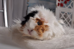 Little cute furry guinea pig Royalty Free Stock Photography