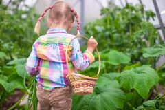 Little cute girl with the harvest in a greenhouse royalty free stock photo