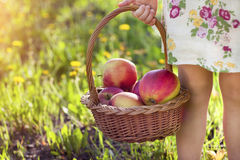 Little cute girl holding a basket with red apples Royalty Free Stock Photos