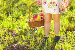 Little cute girl holding a basket with red apples Royalty Free Stock Photography