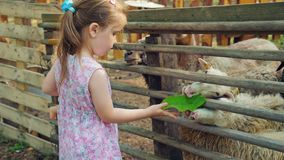 Little cute girls feed sheep on a farm with watermelon peels and plant leaves. Little cute girls in summer dresses feed sheep on the farm with watermelon peels stock footage