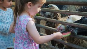 Little cute girls feed sheep on a farm with watermelon peels and plant leaves. Little cute girls in summer dresses feed sheep on the farm with watermelon peels stock video footage