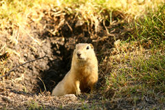 Little cute gopher Stock Image