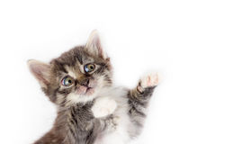 Little cute gray fluffy frightened kitten isolated on white background Royalty Free Stock Images