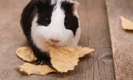 Little cute guinea pig on wooden background. stock photo
