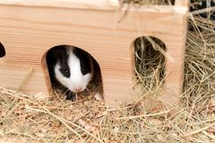 Little cute guinea pig in wooden house Royalty Free Stock Photos