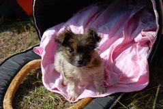 A puppy. A little cute hairy puppy sitting on a pink blanket and staring on a camera Royalty Free Stock Photo