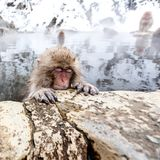 Little cute japanese snow monkey sleeping in a hot spring. Yudanaka, Japan. Animal wildlife stock images
